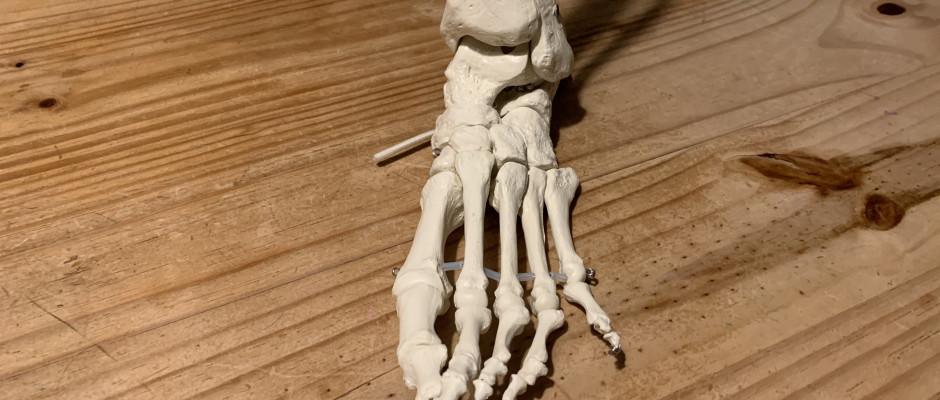 Foto eines Fussskelettmodells.